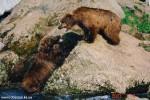Medvedi_026