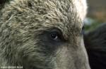 Medvedi_047