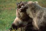 Medvedi_052