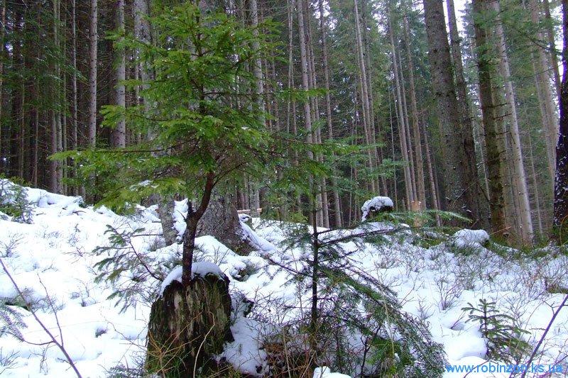 Молодое дерево растёт прямо из пня, 31 января 2010